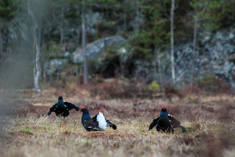 Black grouse play in Nordmarka, Oslo